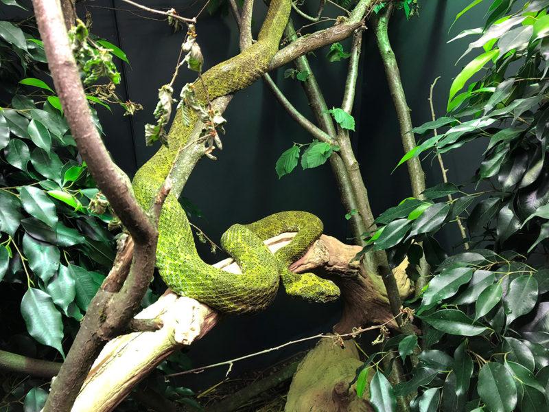Die Mang-Berg-Viper